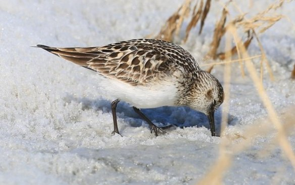 Sandpiper on snow 6450EF03-C77C-450D-8080621943C1804F